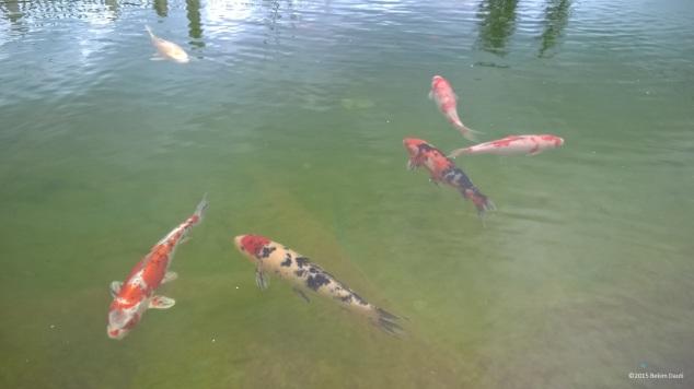Peshqit Koi